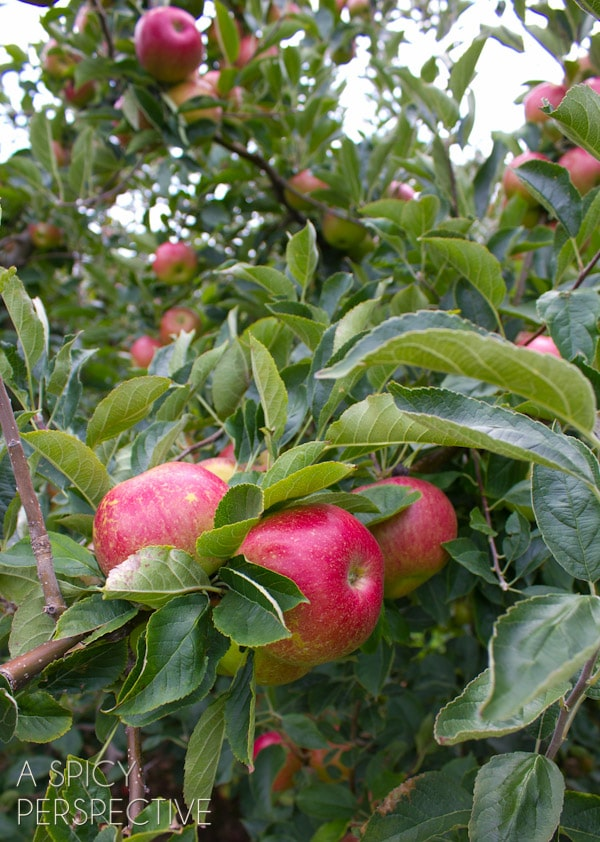 Apple Picking -Things to Do in Asheville NC | ASpicyPerspective.com #travel #asheville #visitasheville #fall
