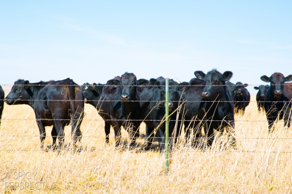 Drummond Cows