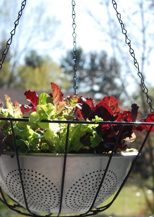 How to Make Easy Lettuce Leaf Hanging Baskets #garden #gardening #diy #upcycle