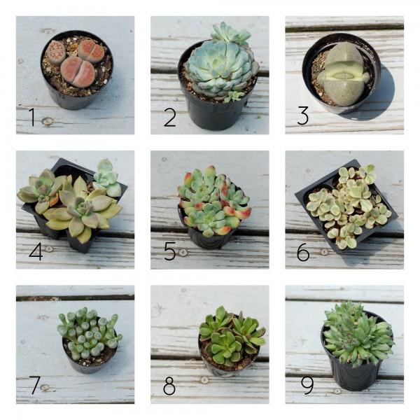 Types of succulents for Tipos de suculentas y sus nombres