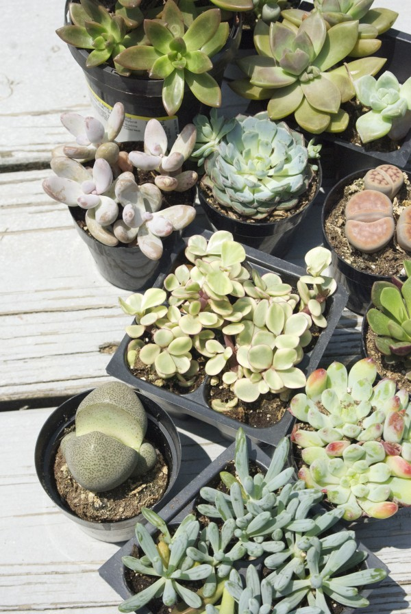 Planting Succulents - Types of Succulents + Tips for Planting #garden #gardening #succulents
