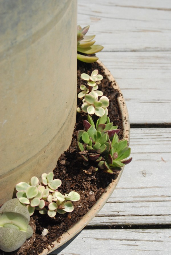 Planting Succulents   Types Of Succulents + Tips For Planting #garden # Gardening #succulents