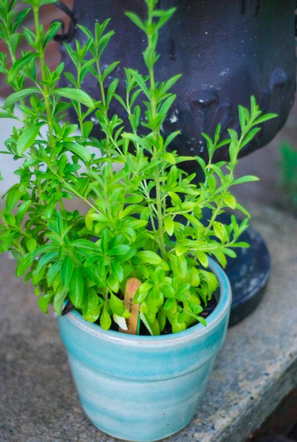 How To: Planting a Tea Garden #gardening #teagarden #tea