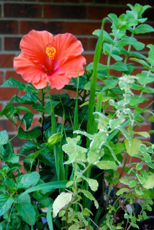 Planting an Easy Tea Garden #gardening #teagarden #tea