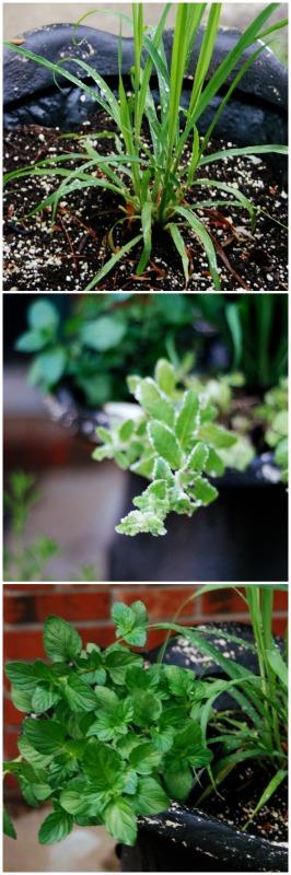 Tea Gardens #gardening #teagarden #tea