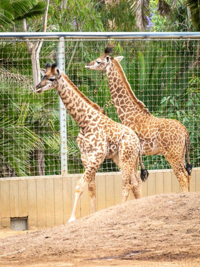 San Diego Zoo #ASpicyPerspective #travel #vacation #california